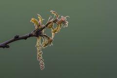 Backlit eiken bloemen Stock Afbeelding