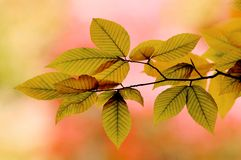 Backlit Elm Leaves. In Autumn royalty free stock image