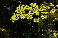 Backlit esdoornbladeren stock foto