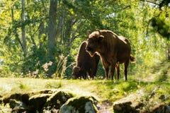 Backlit European bison (Bison bonasus) Royalty Free Stock Photo