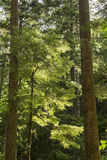Backlit Evergreens Royalty Free Stock Images