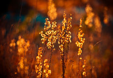 Backlit of fall dry grass Royalty Free Stock Photos