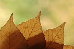 Backlit Fall Leaves Royalty Free Stock Photos