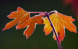 Backlit fall leaves Royalty Free Stock Photography