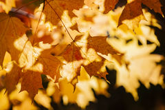 Backlit fall maple leaves Royalty Free Stock Photos