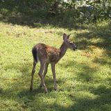 Backlit fawn Royalty Free Stock Images