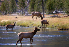 Backlit Female Elk Crossing Stream #1. Backlit female elk crossing stream with other female elk in background royalty free stock images