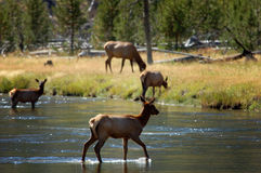 Backlit Female Elk Crossing Stream #2 Stock Image