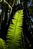 Backlit Fern In Forest Stock Photo