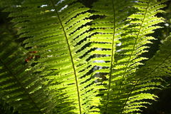 Backlit fern fronds. Detail of backlit fern fronds royalty free stock photos