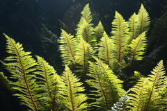 Backlit fern leaves Stock Images