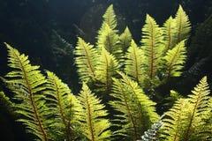 Backlit fern leaves Stock Images