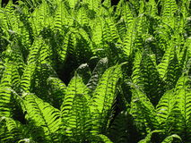 Backlit fern plants Royalty Free Stock Image
