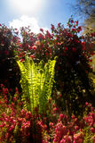 Backlit Fern with Rhododendron Stock Images