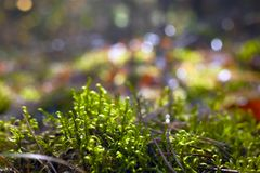 Backlit Fern Sprouts In The Pine Forest On A Sunny Autumn Day. Blurred Background. Backlit Fern Sprouts In The Pine Forest On A Sunny Autumn Day. Blurred royalty free stock image