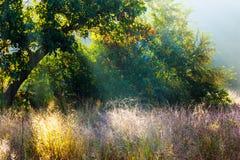 Backlit filialer för morgon solljus av träd i den dimmiga skogen Arkivbild