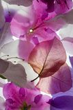 Backlit Flowers Background. Backlit Pink And White Flowers Petals Background stock photos