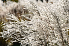 Backlit fluffy grass Stock Photos