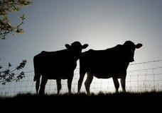 Backlit freisian cattle Royalty Free Stock Photo