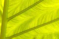 Backlit fresh green palm leaf, close up, background Stock Photos
