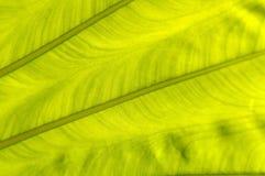 Backlit fresh green palm leaf, close up Stock Image
