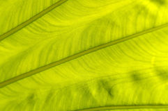 Backlit fresh green palm leaf, close up Royalty Free Stock Photos