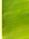Backlit fresh green palm leaf Stock Photos
