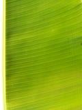 Backlit fresh green palm leaf Stock Photos