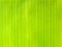 Backlit fresh green palm leaf Stock Photography