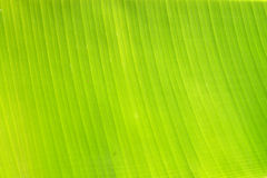 Backlit fresh green palm leaf Stock Photo