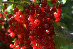 Backlit fresh, ripe, redcurrants, ready to harvest royalty free stock photo