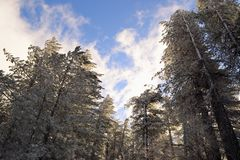 Backlit frosted pine trees from a low angle Stock Photos