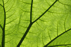 Backlit giant Gunnera plant leaf Stock Photography