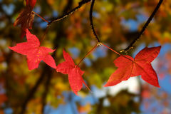 Backlit Gloeiende Rode Esdoornbladeren Stock Foto