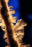 Backlit Golden Hoarfrost Crystals on Branch Stock Photography