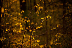 Backlit golden leaves in nature Stock Image