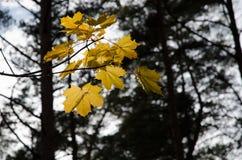 Backlit golden maple leaves Stock Image