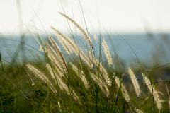 Free Backlit Golden Sea Grass By Ocean Stock Images - 125345894