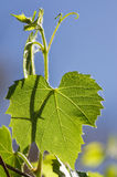 Backlit Grape Leaf Royalty Free Stock Photography