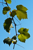 Backlit Grape Leaves Stock Photography