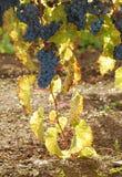 Backlit Grapes stock image