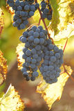 Backlit Grapes stock images