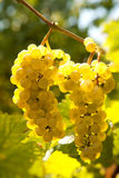 Backlit grapevine. Backlit closeup of grapes hanging on a grapevine in Alsace vineyards in France stock photo