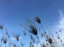 Backlit grasbloem op blauwe hemel en wolkenachtergrond stock afbeelding