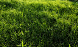 Backlit grass Royalty Free Stock Photography