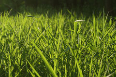 Backlit Grass Background. Close up view of grass backlit by the sun Royalty Free Stock Image