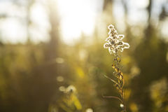 Backlit grass. Golden grass backlit by late afternoon  sunlight Stock Photography