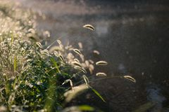 Backlit grass hanging over small pond surface in rainy day royalty free stock photography