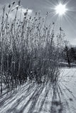 Backlit grass in the snow Royalty Free Stock Images