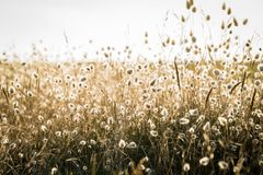 Backlit grass at the beach. Backlit grass in the summer and sunset on the seashore royalty free stock photo
